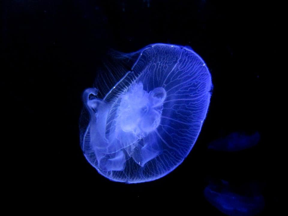 Transparent Jellyfish in its Natural Dark Surrounding