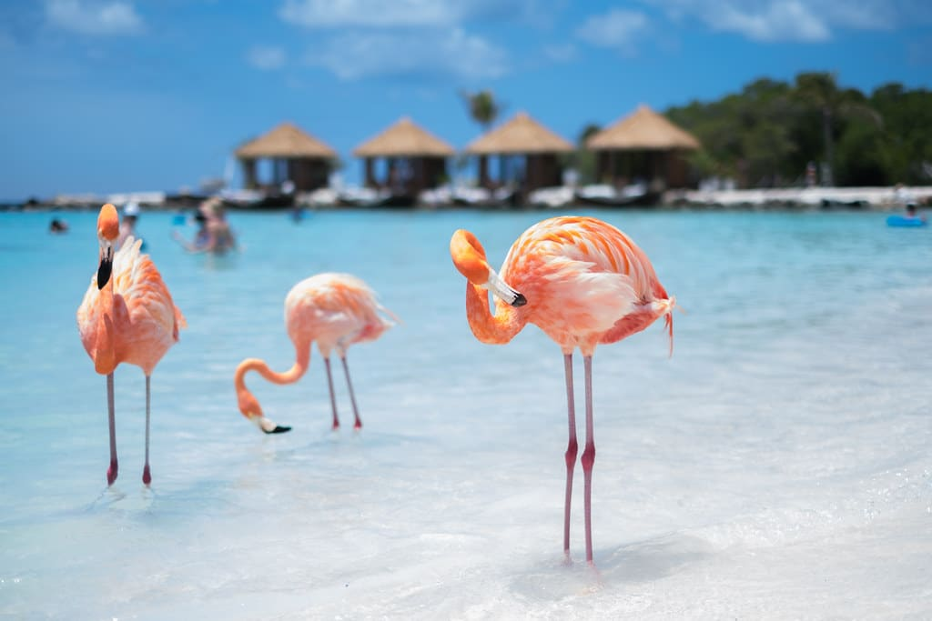 Playful flamingos on Flamingo beach in Aruba