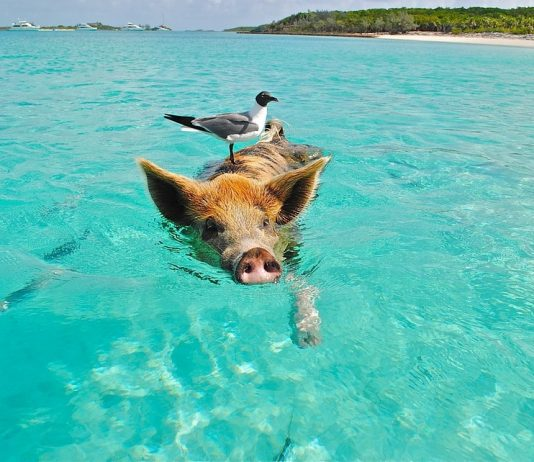 A Pig Swimming with a Bird in Staniel Cay